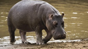 hippopotamus-hd-wallpaper-2560x1600